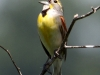 dickcissel-singing