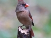 northern-cardinal-female