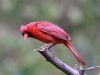 northern-cardinal4