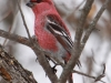 pine-grosbeak3