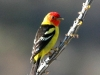 western-tanager2