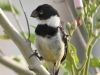 white-collared-seedeater2