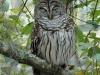 barred-owl2