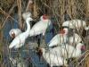egret-and-ibises