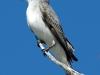 gray-kingbird