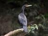 neotropic-cormorant