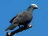 white-crowned-pigeon2