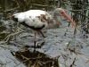 white-ibis-immature