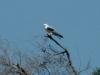white-tailed-kite2