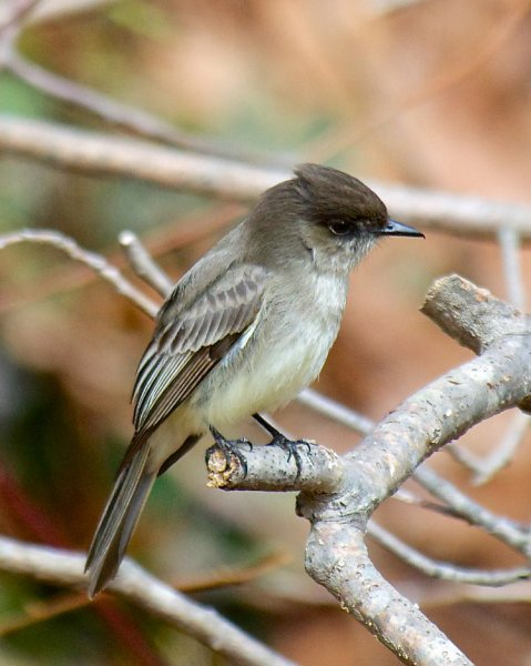 Bird Quiz: Flycatchers » BirdQuiz net