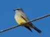 cassins-kingbird2