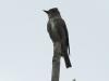 olive-sided-flycatcher