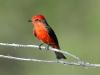vermillion-flycatcher