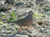 common-ground-dove