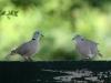 eurasian-collared-doves