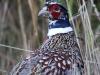 ring-necked-pheasant2