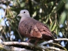 ruddy-ground-dove
