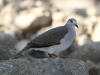 white-tipped-dove
