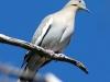 white-winged-dove2