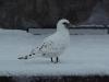 Immature Ivory Gull