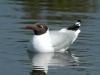 black-headed-gull-in-water