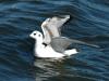bonapartes-gull2
