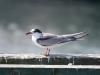 common-tern3