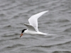 forsters-tern4