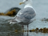 glaucous-winged-gull