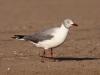 gray-hooded-gull