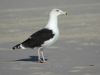 great-black-backed-gull2