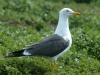 lesser-black-backed-gull-close