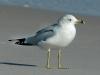 ring-billed-gull2