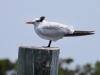 royal-tern2