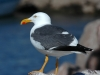 yellow-footed-gull1