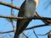 black-billed-cuckoo2