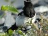 black-billed-magpie2