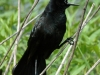 boat-tailed-grackle2