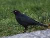 brewers-blackbird2
