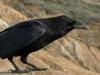 common-raven3