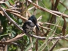 green-kingfisher