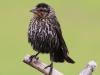 red-winged-blackbird-female