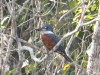 ringed-kingfisher2