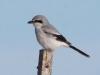 23-northern-shrike