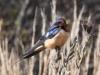 barn-swallow2