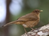 clay-colored-thrush