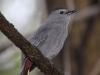 gray-catbird2