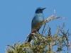 mountain-bluebird2