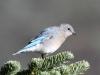 mountain-bluebird3