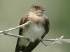 northern-rough-winged-swallow